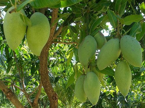 Cây Xoài - Cây Công trình vừa đẹp vừa ăn quả - Thông tin chi tiết